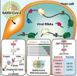 코로나바이러스 증식 제어하는 단백질 찾았다